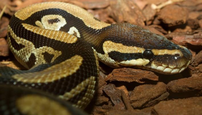 Königspython – Python regius