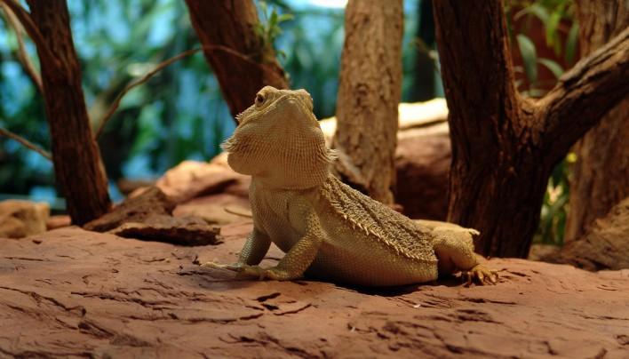 Haltung der Bartagame – Pogona vitticeps