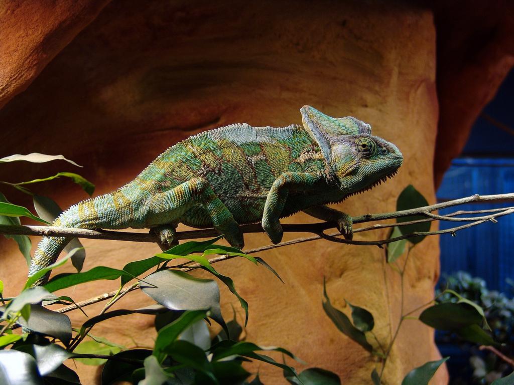 Jemenchamäleon - Chamaeleon calyptratus - Terraristik und Reptilien ...